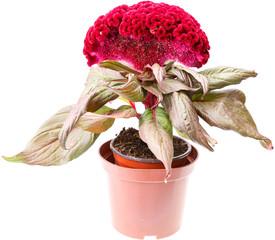 Celosia flower in pot