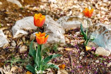 Group of three orange tulips