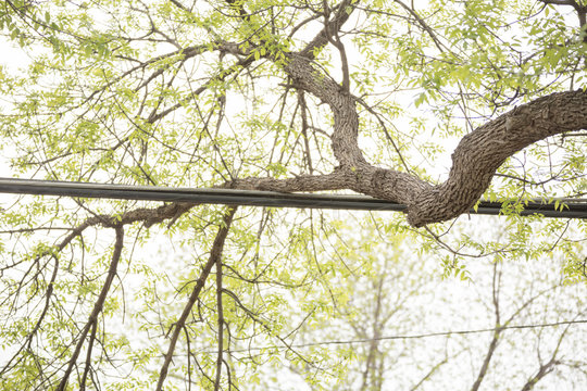 Large Branch on Utility Lines