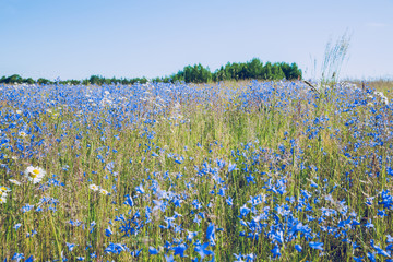 Meadow at summer in Latvia.