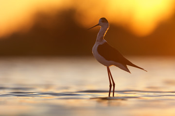 Black-winged Stilt in morning light