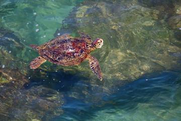 Sri Lanka - turtle swimming in coastal waves
