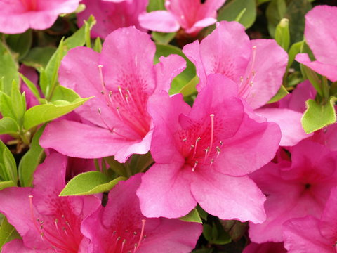 日本のツツジの花