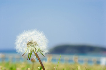 Dandelion seeds in front of the sea