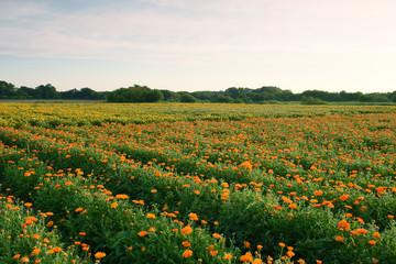 小貝川ふれあい公園のキンセンカ花畑