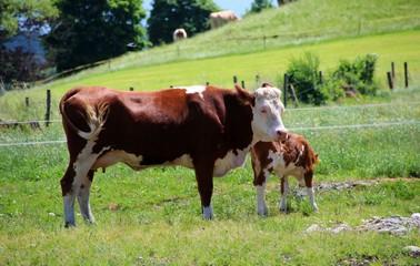 artgerechte tierhaltung kuh mit kalb