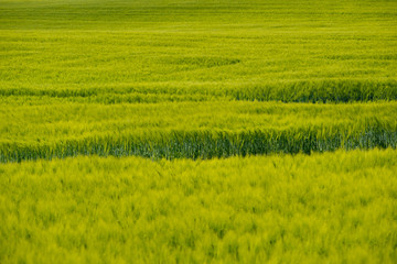 a green cornfield in summer