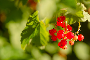 Ripe the currants in the garden in summer and fresh and healthy fruits are good for jam and cookies