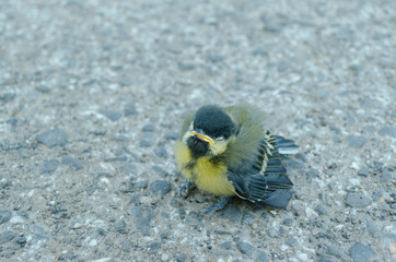 a little tit on the road after fled from nest in summer