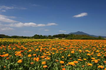 小貝川ふれあい公園のキンセンカ花畑と筑波山と青空