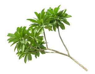 branch of green frangipani leaf isolated on white background, top view