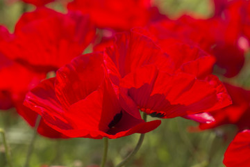 Blooming bright red poppies in a meadow.