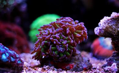 Euphyllia frogspawn hammer coral