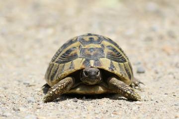 Hermann's Tortoise, turtle on sand, testudo hermanni