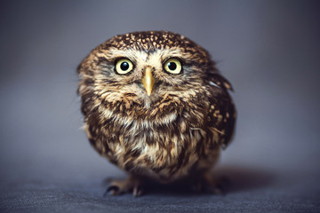 Portrait of a wild owl on the background Fototapete