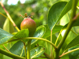 Young unripe fruit pears on tree branches with leaves concept of gardening and farming