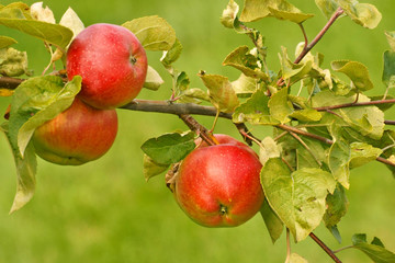 Apples, fruit on a tree branch in an orchard