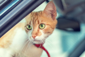 Cute white-red cat in a red collar watching for something in the car