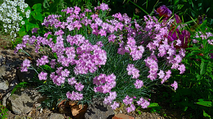 The closeup of the bush of pink carnations (Dianthus japonicus), the delicate flowers of the Black Sea coast in Bulgaria.
