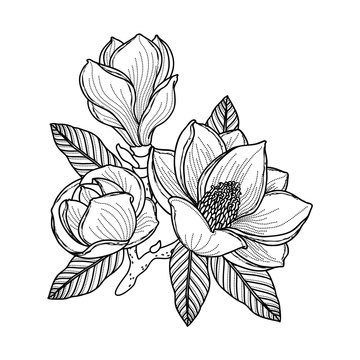 Black and white drawing of a branch of magnolia with flowers, buds and leaves. Vector isolated on background.