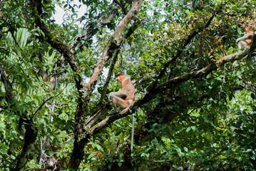 Porboscis monkey