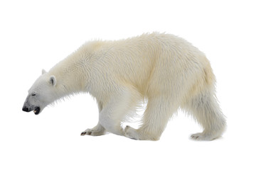 Polar bear isolated on white backgownd