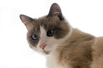 Cat of the Neva-masquerade light color with blue eyes on a white background.