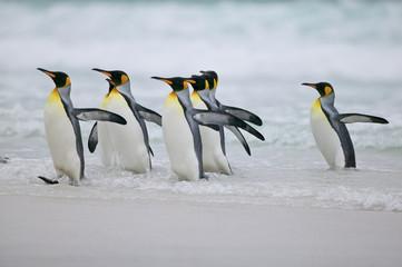King Penguin (Aptenodytes patagonica)