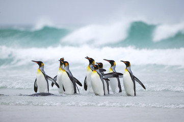 King Penguin (Aptenodytes patagonica) group in the surf