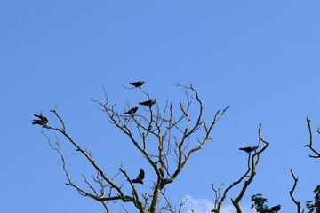 Crows gathered on bare tree branches against blue skies