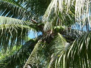 Kokospalme in Ocho Rios - Jamaika