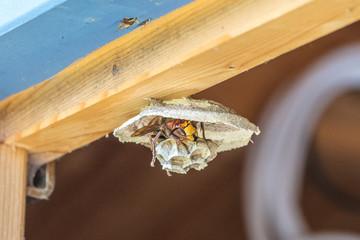 bilder und videos suchen hornissen. Black Bedroom Furniture Sets. Home Design Ideas