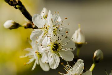macro photo of beautiful cherry white flowers