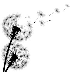Fototapeta black silhouette of a dandelion