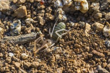 Macro Spider in Dirt