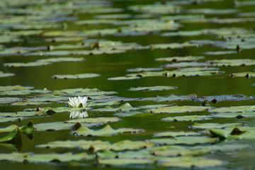 Photos illustrations et vid os de feuille de n nuphar for Scott and white fish pond
