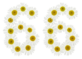 Arabic numeral 66, sixty six, from white flowers of chamomile, isolated on white background