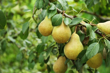 Photo sur Aluminium Fruits Pears on tree in fruit garden