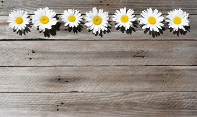 Wild daisies in a row on wood background