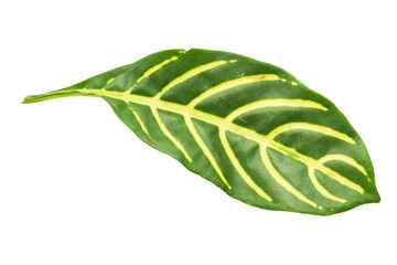 striped on leaves isolated on white background