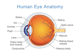 Components of human eye. Illustration about Anatomy and Physiology.