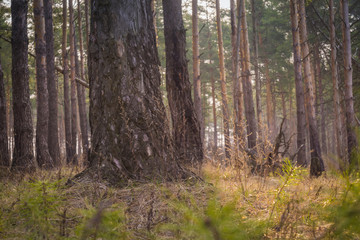 Morning Pine Forest