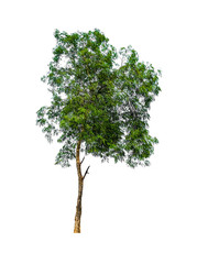 big fresh green tree isolated on white background, conservative or preservative forest concept