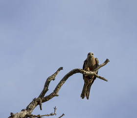 Bird of Prey in Dead Tree