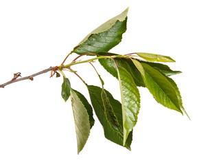 A branch of a cherry tree with green leaves. Isolated on white background