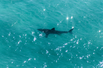 Great White Shark swimming near the surface