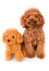 Mini Toy Poodle with Golden Brown Fur on a white background