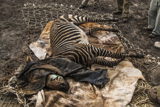 Cape mountain zebra with sacroid virus being treated, South Africa
