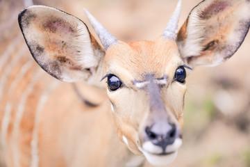 Deer staring at camera