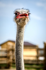 Ostrich with an open red beak.